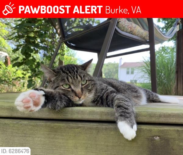 Lost Male Cat last seen Debra Spradlin ct & Crayford st, Burke, VA 22015
