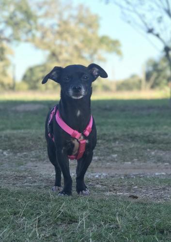Lost Female Dog last seen FM529, Bellville, TX 77418