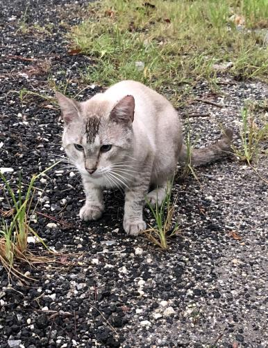 Lost Male Cat last seen Near Route 441 and Lantana in Lake Worth, Palm Beach County, FL 33449