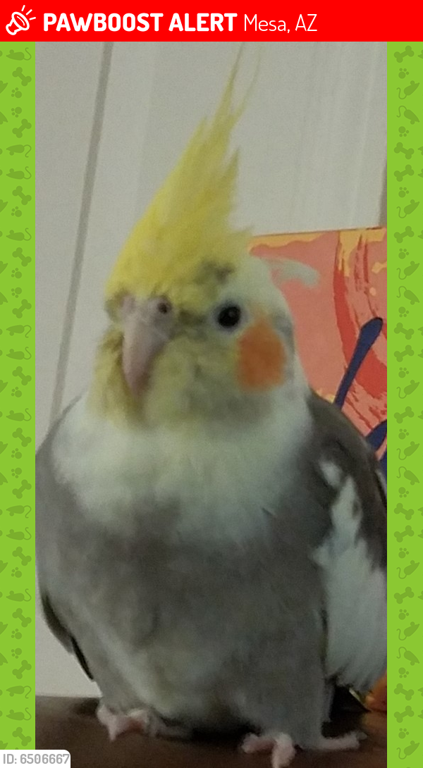 Lost Male Bird last seen Main and Higley, Mesa, AZ 85205
