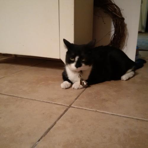 Lost Male Cat last seen 14th Ave & W Wickieup Lane, Phoenix, AZ 85027