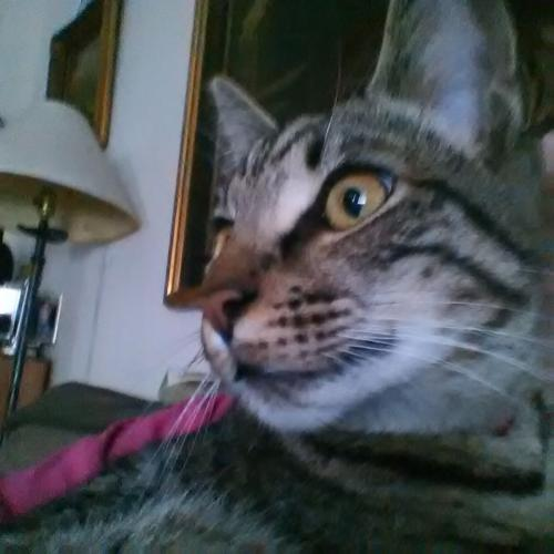 Lost Male Cat last seen Batchelor St./ Earl Ct./ Holland St./ N. Brown, West Columbia, SC 29169