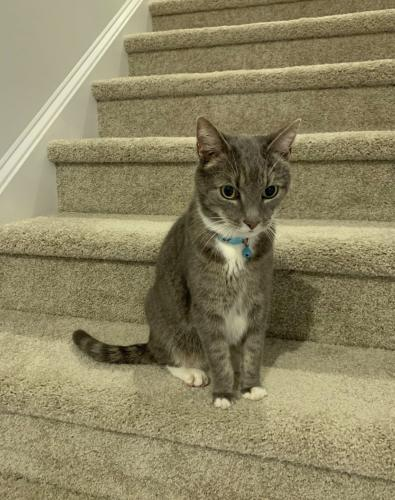Lost Male Cat last seen Nigels Dr. doctor offices , Myrtle Beach, SC 29572
