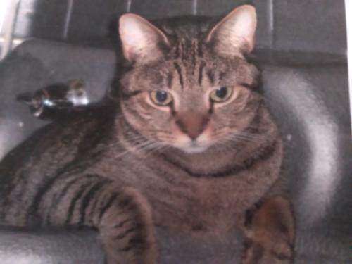 Lost Female Cat last seen SW 31st and  9th av Ft. Lauderdale , Fort Lauderdale, FL 33315