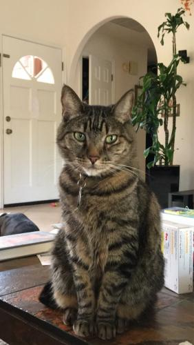Lost Male Cat last seen Sunflower Dr and Palisades Blvd, Fountain Hills, AZ 85268