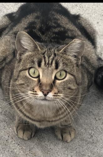Lost Male Cat last seen Oak grove high school, San Jose, CA 95123