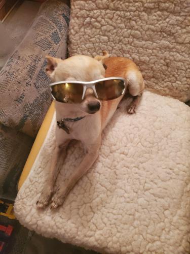Lost Male Dog last seen Walmart, Pilot and stripes, Midland, TX 79701