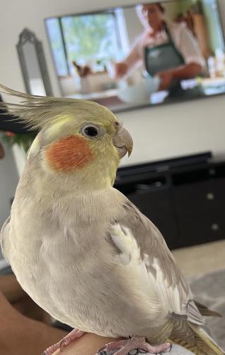 Lost Unknown Bird last seen Lyons rd by Atlantic ave, Boynton Beach, FL 33426