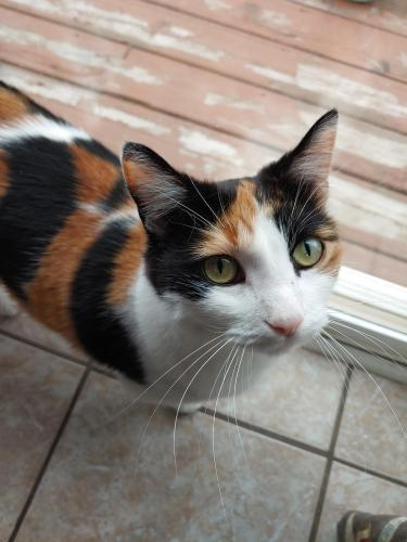 Lost Female Cat last seen Near W Sunnyside Dr, Glendale, AZ 85304