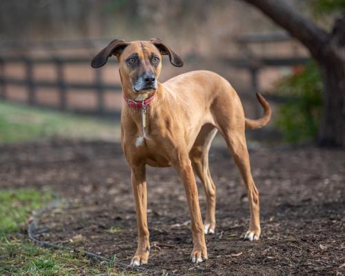 Lost Female Dog last seen Hampton Road, Crosspointe, South Run and Saratoga , Clifton, VA 20124