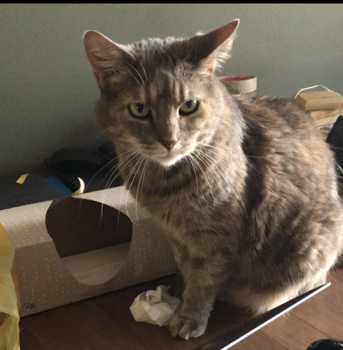 Lost Female Cat last seen Corner of Mariana Drive and Rosslyn, Parma Heights, OH 44130