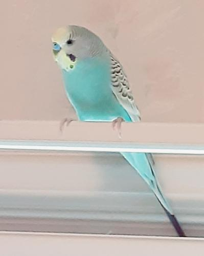 Lost Male Bird last seen Addison rd, Sager ave, Lcust , Robert's rd, Fairfax, VA 22030