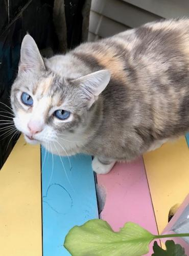 Lost Female Cat last seen Aldine Westfield & Hirschfield, Spring, TX 77373