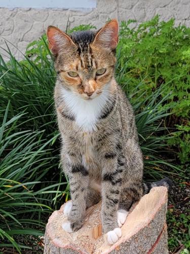 Lost Female Cat last seen Westfall Rd, Lake Worth, FL, USA, Palm Beach County, FL 33463