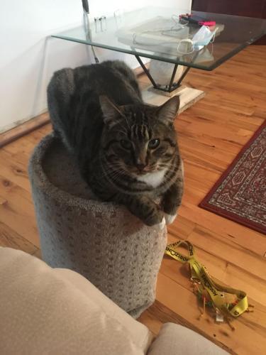 Lost Male Cat last seen Royal Vista, Calgary, AB, Canada, Calgary, AB
