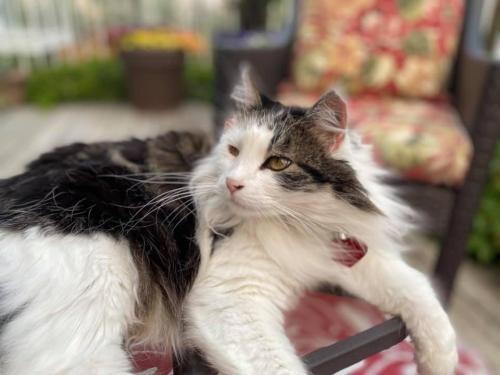 Lost Male Cat last seen Rocky Ridge Mews NW, Calgary, AB T3G