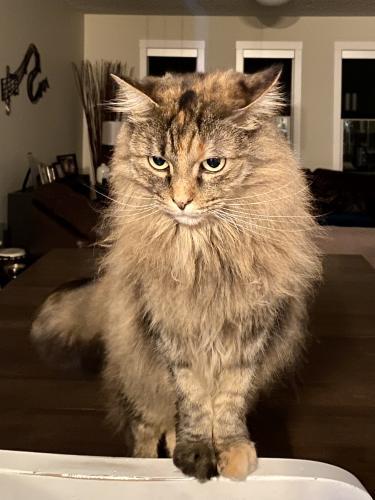 Lost Female Cat last seen Rocky Ridge Mews NW, Calgary, AB T3G