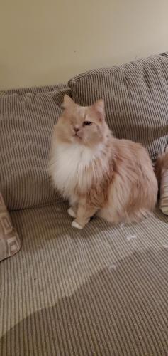 Lost Male Cat last seen Sherbrooke terr, Brinkley cir, Leesburg, VA 20176