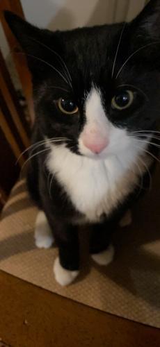 Lost Male Cat last seen Royal oak , Calgary, AB T3G 5M3