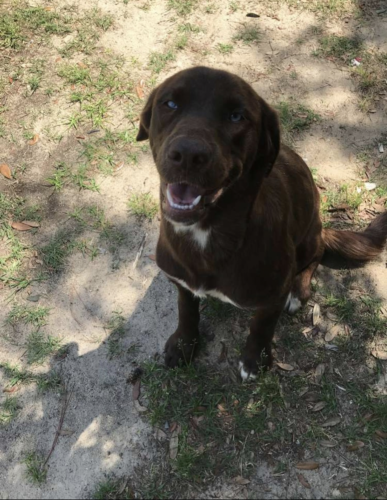 Lost Female Dog last seen US-15 , Clarendon County, SC 29125