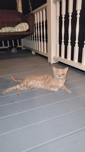 Found/Stray Male Cat last seen Country club road and patriot dr, Saint Matthews, SC 29135