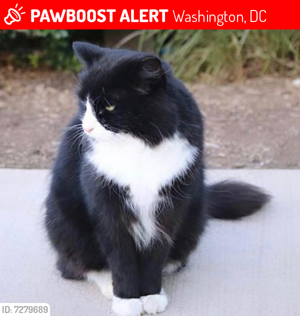 Lost Female Cat last seen American University Wash DC Massachusetts and Nebraska Avenues, Washington, DC 20016