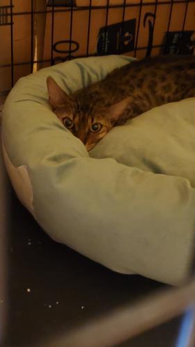 Lost Female Cat last seen Woodland Way, Annandale, VA 22003