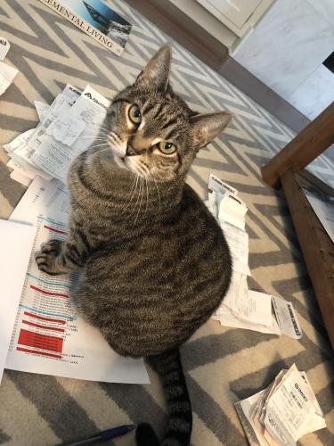 Lost Female Cat last seen Le Triomphe Neighborhood , Broussard, LA 70518