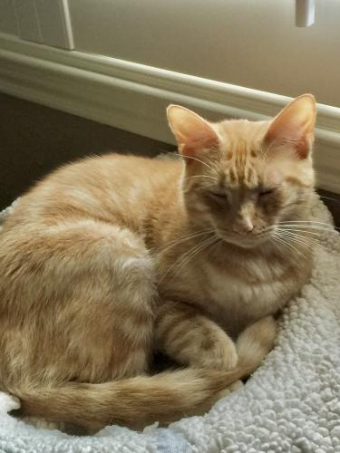 Lost Male Cat last seen Great Oaks neighborhood in Towne Lake, Cypress, TX 77433