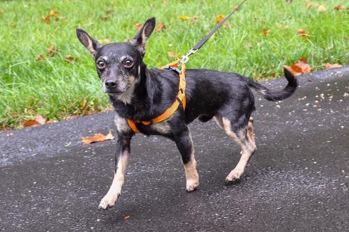 Lost Male Dog last seen Broadlands Blvd near Clyde's, Broadlands, VA 20148