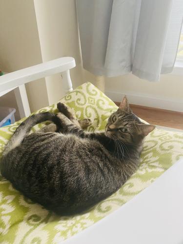 Lost Female Cat last seen Clarksburg MD , Clarksburg, MD 20871