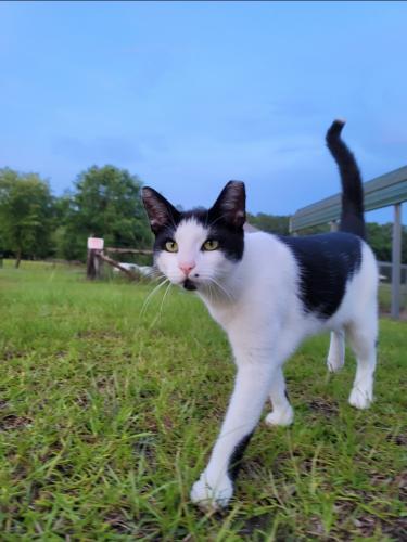 Lost Male Cat last seen Rabon Road / Collie Branham road, Lugoff, SC 29078