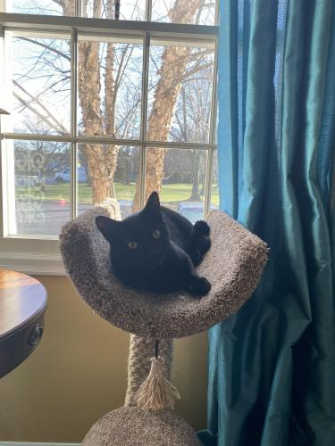 Lost Male Cat last seen Whitworth Ct, Herndon, Va 20170. , Herndon, VA 20170