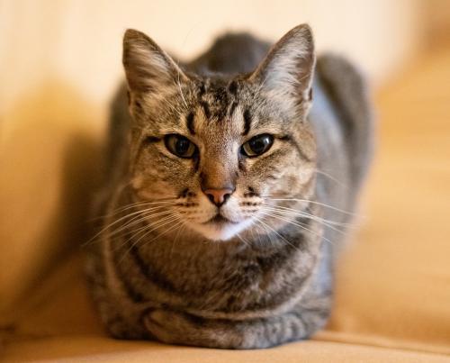 Lost Female Cat last seen Childs Lane and Stirrup lane, Alexandria, VA 22308
