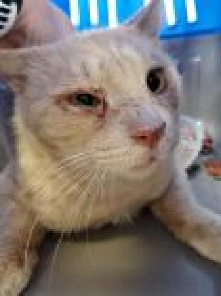 Shelter Stray Male Cat last seen Hybla Valley, VA 22306, Fairfax, VA 22032