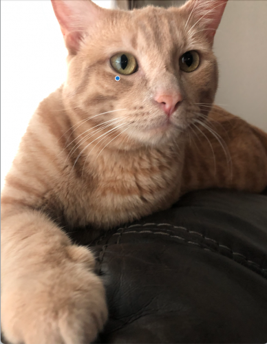 Lost Male Cat last seen Evans Blvd and 87th St, Odessa, TX 79762