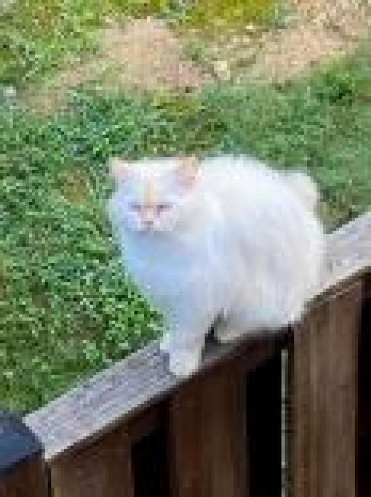 Shelter Stray Male Cat last seen Lorton, VA 22079, Fairfax, VA 22032