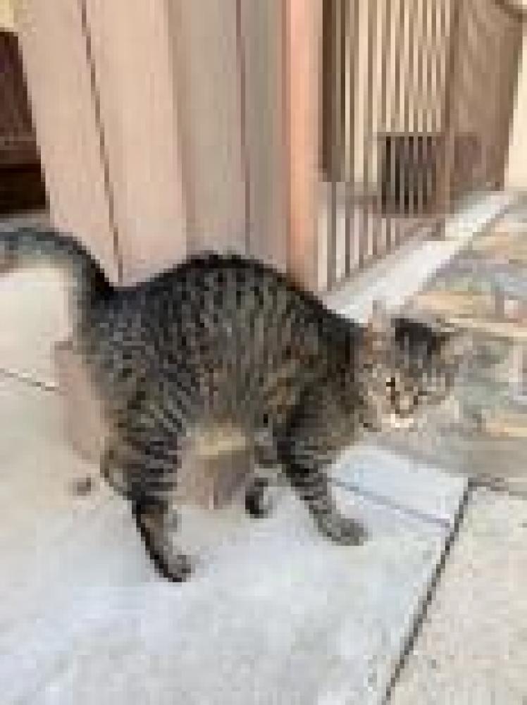 Shelter Stray Female Cat last seen Clifton, VA 20124, Fairfax, VA 22032