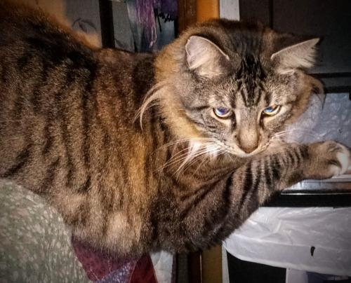 Lost Male Cat last seen SW Butzer Rd & SR 240 Columbia City, FL is, Columbia County, FL 32024