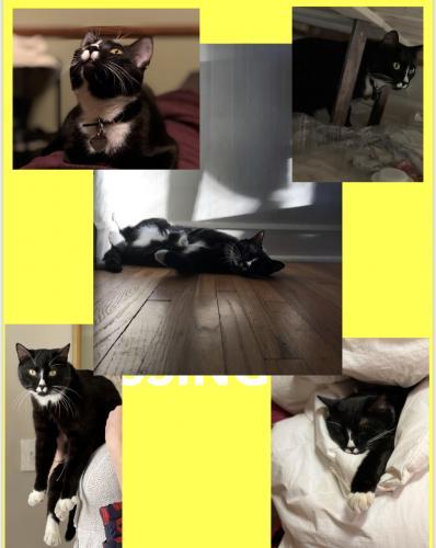 Lost Male Cat last seen Oakcrest Drive and Kenwood Avenue, Alexandria, VA 22302