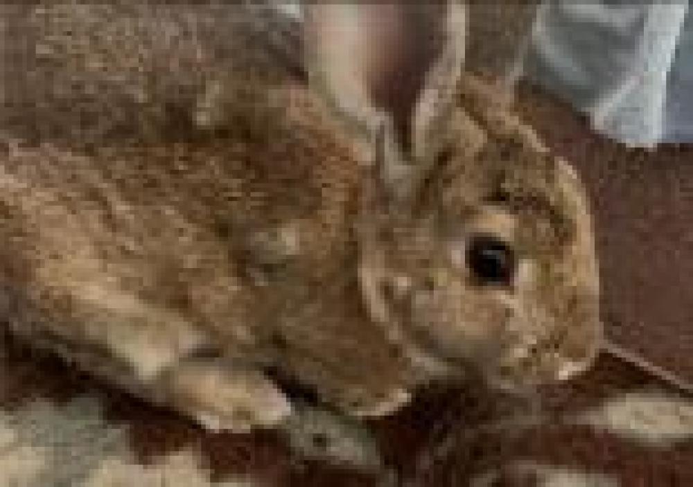 Shelter Stray Unknown Domestic rabbit last seen Fairfax, VA 22030, Fairfax, VA 22032