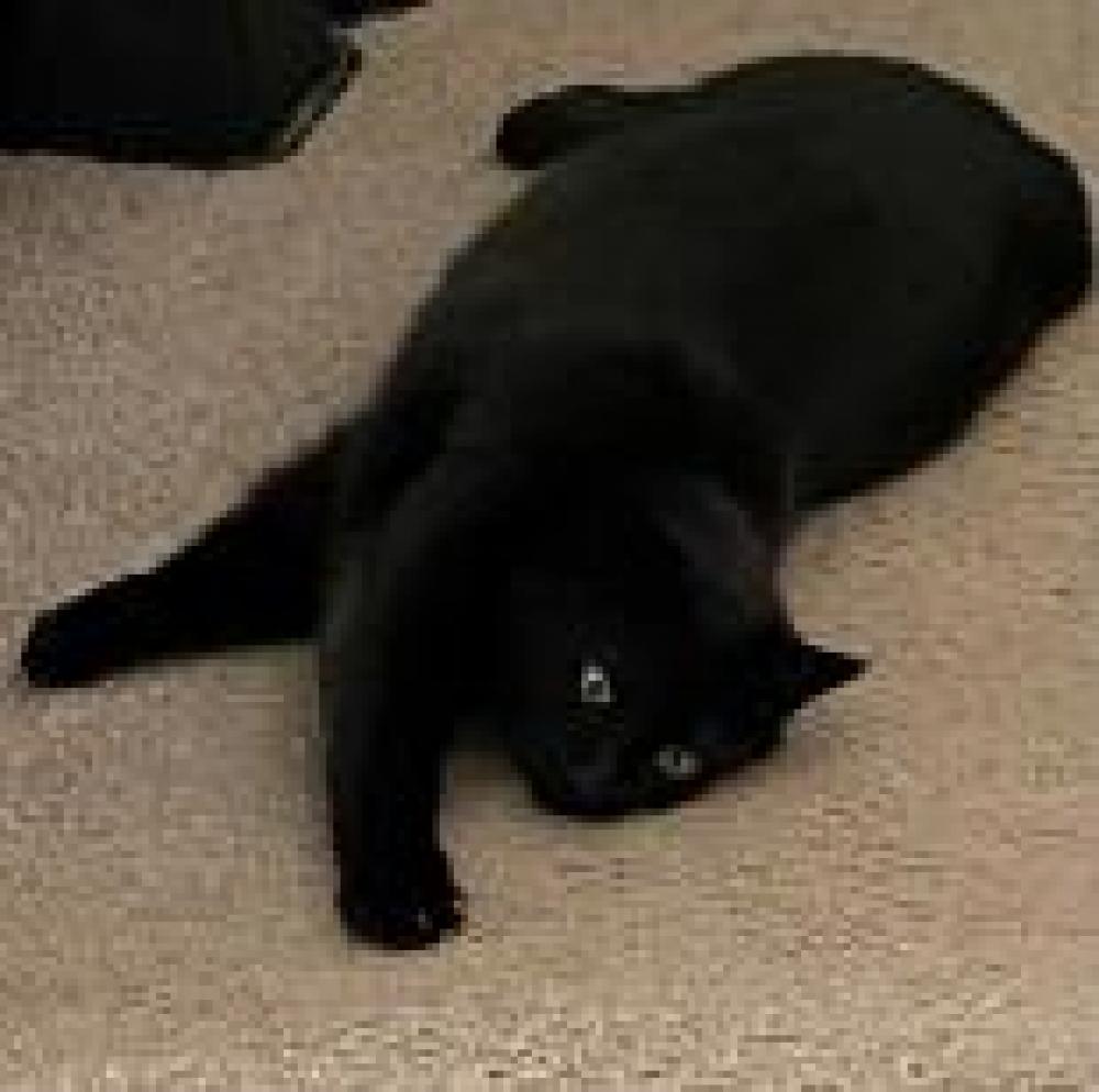 Shelter Stray Female Cat last seen Alexandria, VA 22306, Fairfax, VA 22032
