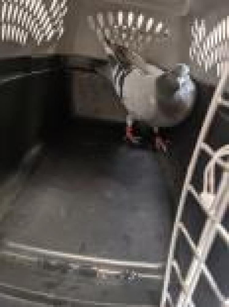 Shelter Stray Unknown Pigeon last seen Reston, VA 20190, Fairfax, VA 22032