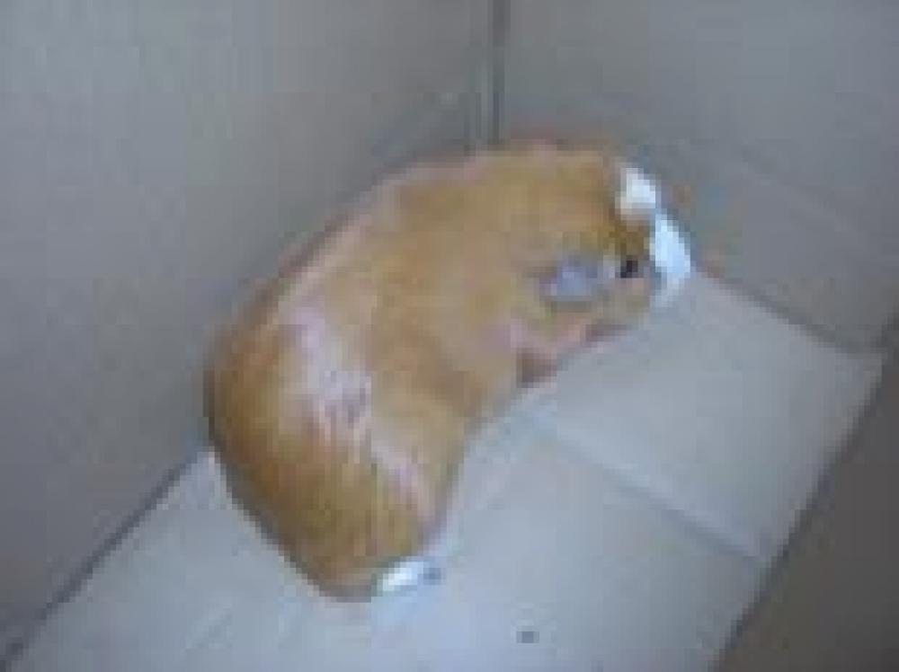 Shelter Stray Male Guinea pig last seen Lorton, VA 22079, Fairfax, VA 22032