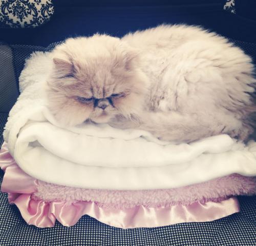 Lost Female Cat last seen Dawson's Corner community , Chantilly, VA 20152