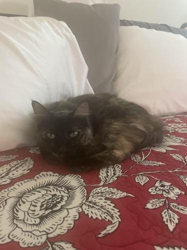 Lost Female Cat last seen MqQueen and 202, Maricopa County, AZ 85286