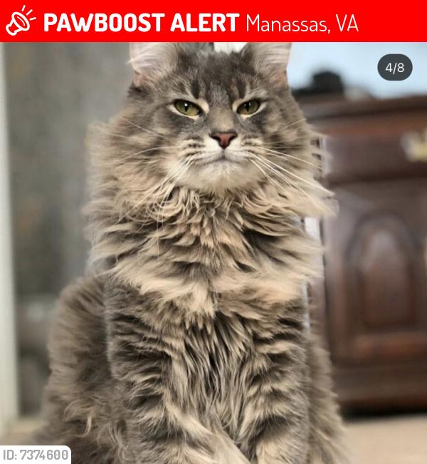 Lost Male Cat last seen Langholm Way, Manassas, VA 20109