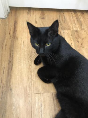 Found/Stray Male Cat last seen Blueberry LN and Kalmia CT, Fairfax, VA, Fairfax, VA 22033