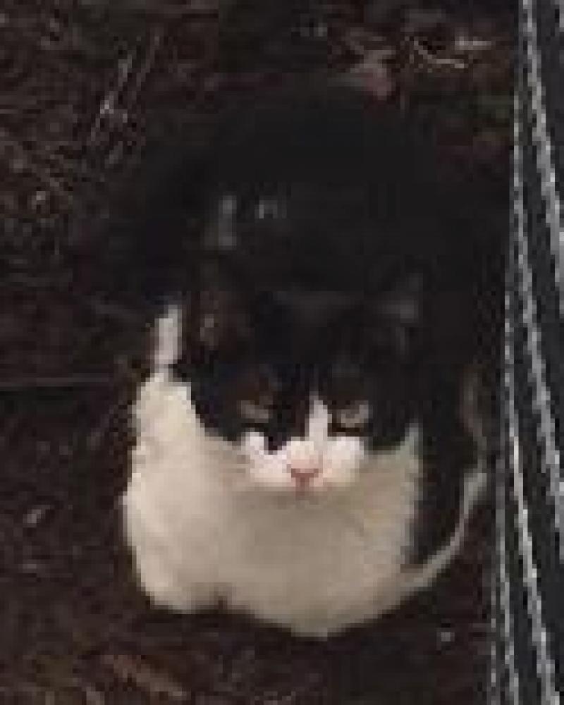 Shelter Stray Unknown Cat last seen Fairfax, VA 22033, Fairfax, VA 22032