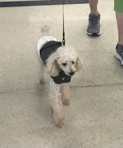 Lost Male Dog last seen Near Captains Walk, Palm Coast, FL 32137